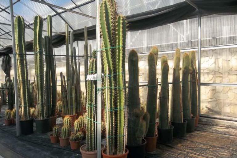 La produzione di piante grasse vivai flora cactus garden for Piante colonnari